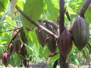 Cooperativa de  Productores de Cacao de El Salvador propone alternativa Por mucho años el cultivo del cacao fie importantísimo para El Salvador, en la actualidad puedes visitar las plantaciones y apreciar mas de cerca su fruto y sus derivados como el chocolate.