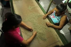 Las encargadas de revisar y limpiar las semillas de café laboran con eficiencia y responsabilidad. Foto Diario Co Latino / Ricardo Chicas Segura